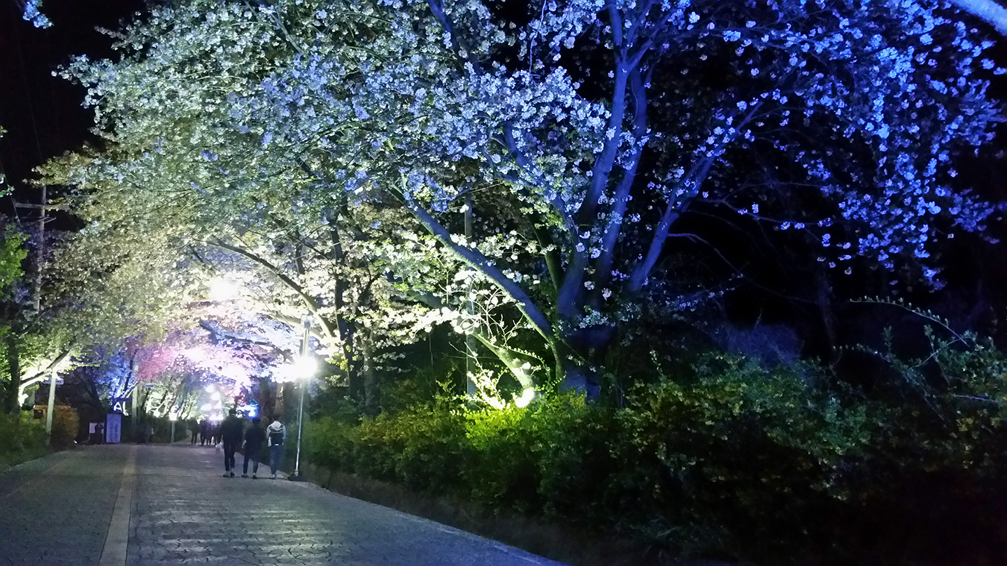 Korea Trip - Cherry Blossom Viewing at Night
