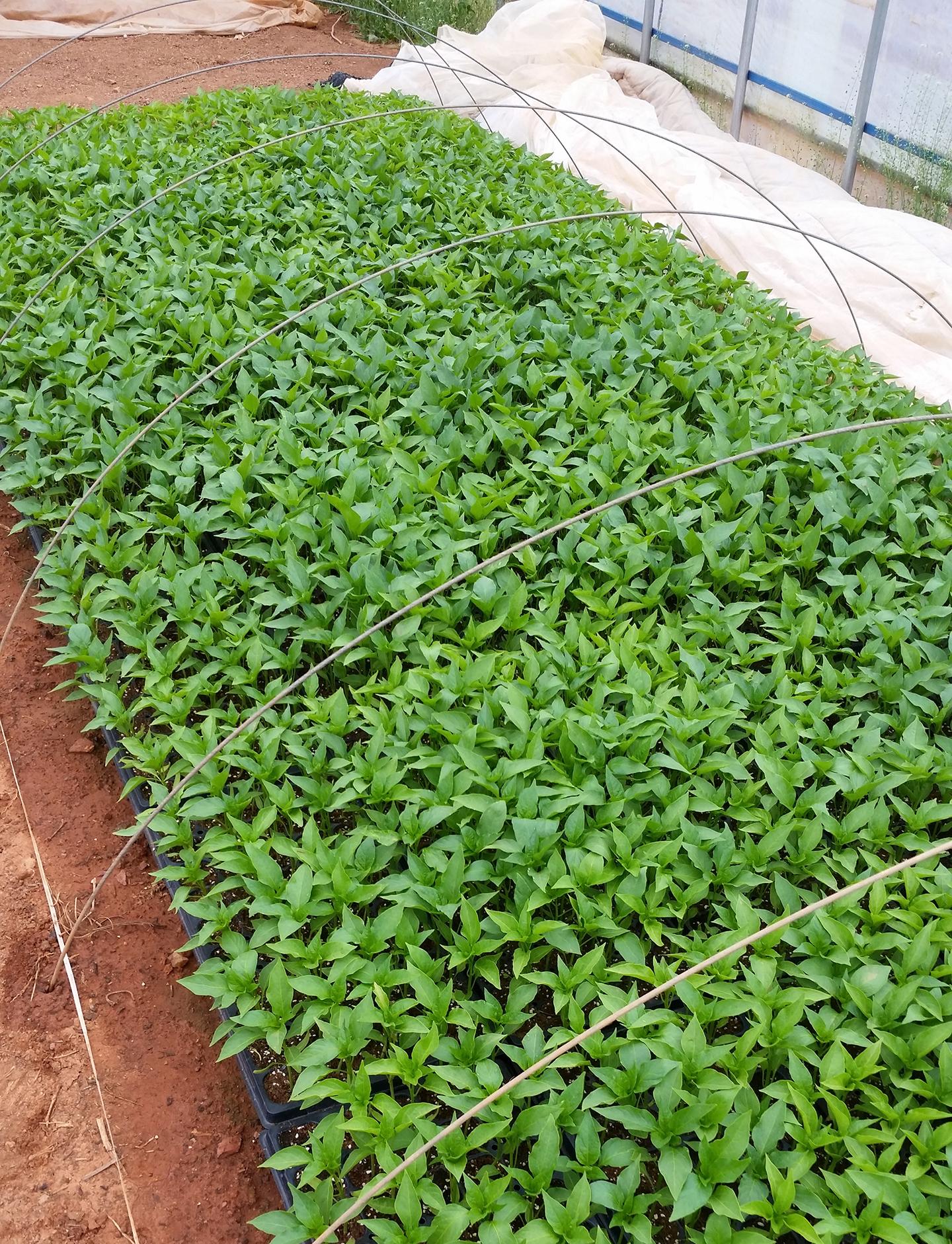 Korea Trip - Pepper Plants