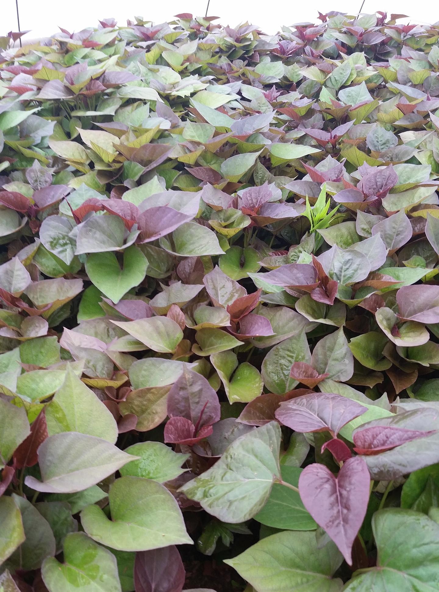 Korea Trip - Sweet Potato Plants