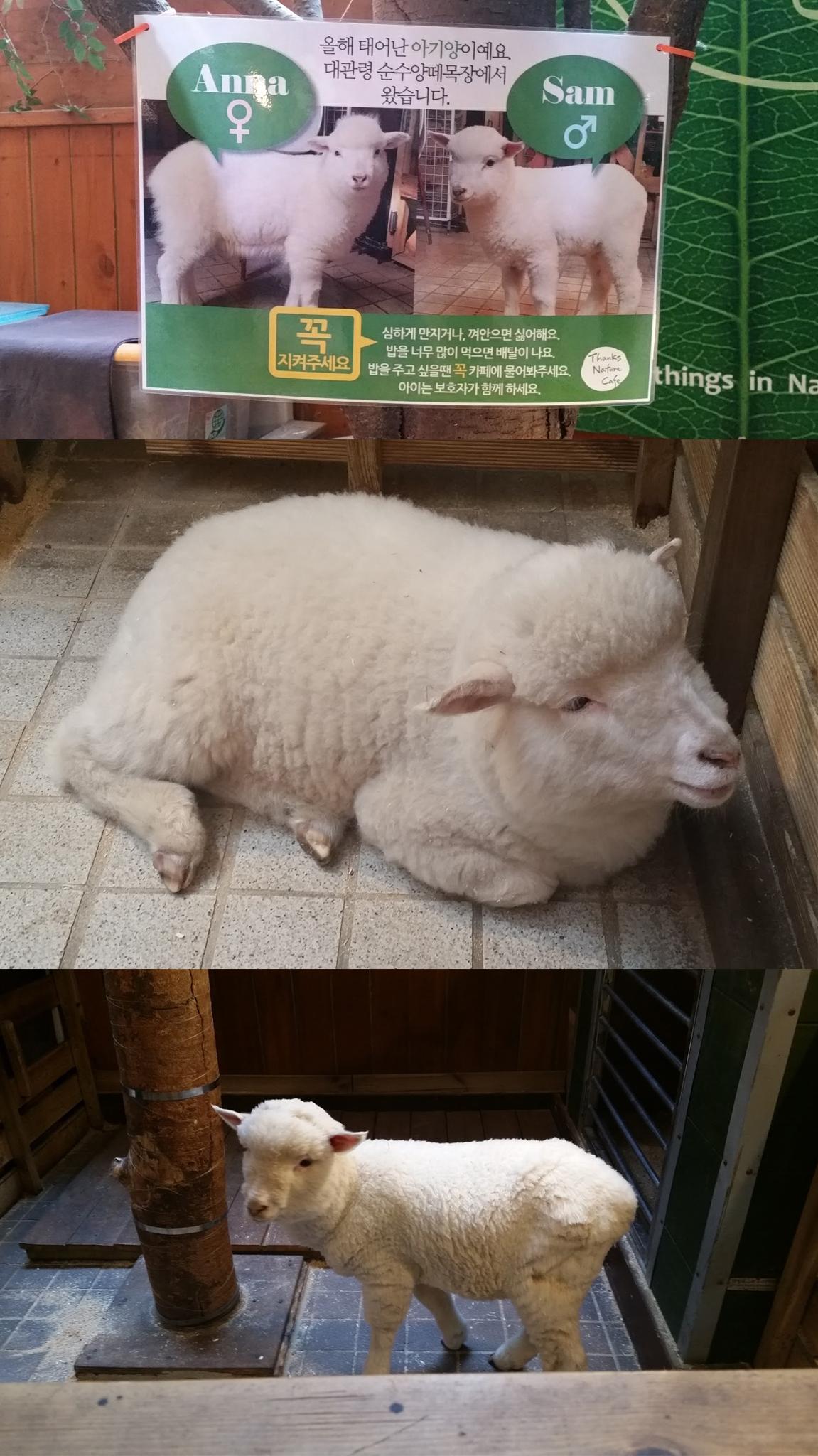 Hongdae - Thanks Nature Sheep Cafe